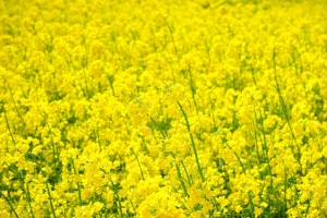field-of-rapeseeds-474523_960_720